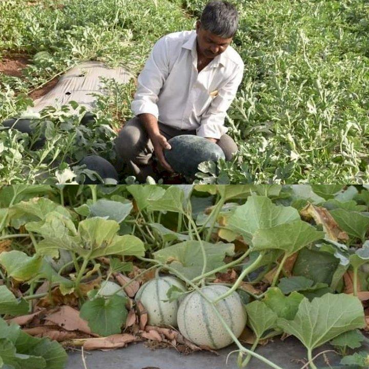 5 એકરના ખેતરમાં ખેડૂતે કર્યો સફળ પ્રયોગ, સક્કર ટેટી અને તરબૂચ ઉગાડ્યાં