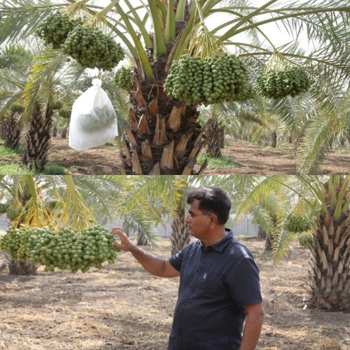 પ્રાકૃતિક ખેતીથી ખારેક પકવી મબલખ ઉત્પાદન મેળવ્યું