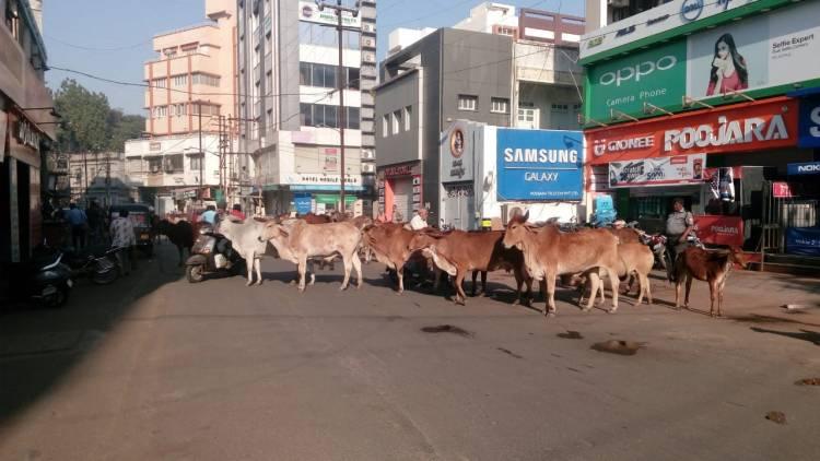 જામનગર શહેર બન્યું ઢોરવાડો