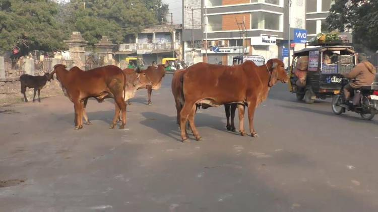 જામનગરના રસ્તા ઢોરવાડો બની રહ્યા છે,તંત્ર હવે તો જાગો..