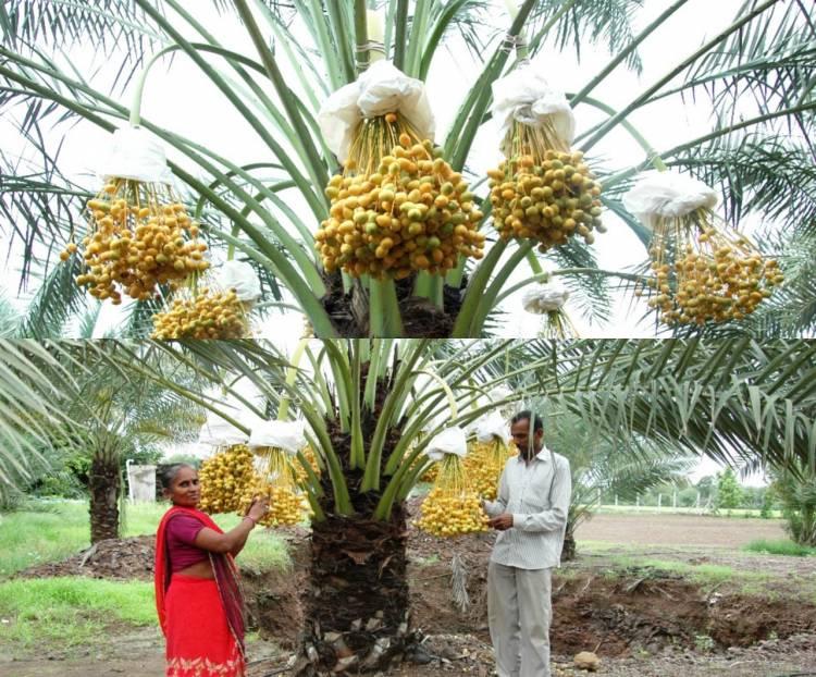 ટપક સિચાઇ પધ્ધતિ દ્રારા ખારેકની જૈવિક ખેતી..
