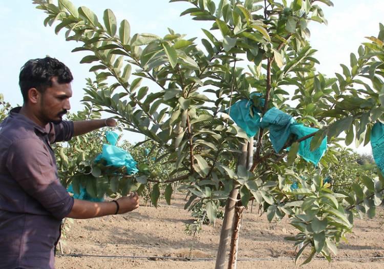 જામફળની ખેતીથી પણ કરી શકાય છે લાખો રૂપિયાની કમાણી