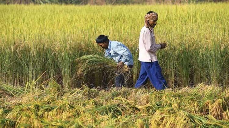 ગુજરાતમાં ખરીફ પાકોનું થયું વાવેતર, સૌથી વધુ મગફળી અને કપાસનું થયું વાવેતર